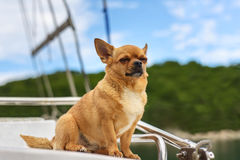 Chihuahua dog with closed eyes. Royalty Free Stock Images