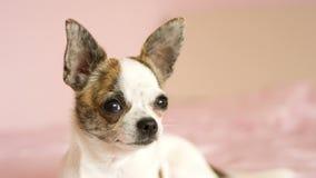 Chihuahua dog closeup stock video footage