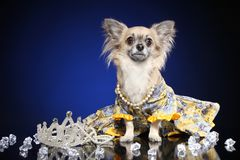 Chihuahua in dog clothe stock photo