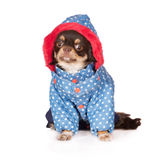Chihuahua dog in clothes Royalty Free Stock Images