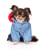 Chihuahua dog in clothes Stock Image