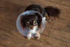 Chihuahua dog in a cone indoors. Chihuahua dog in a cone on the floor Stock Photos