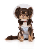 Chihuahua dog in a cone and robe after the vet Royalty Free Stock Images