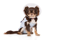 Chihuahua dog in a cone and robe after the vet Stock Photo