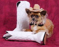 Chihuahua dog with cowboy hat & boots Royalty Free Stock Image