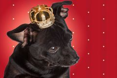 Chihuahua dog with a crown stock photos