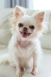 Chihuahua dog cute pet Royalty Free Stock Photography