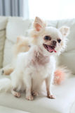 Chihuahua dog cute pet Stock Photography