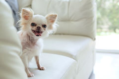 Chihuahua dog cute pet. White chihuahua dog cute pet happy smile in home with seat sofa furniture interior decor in living room stock images