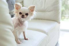 Chihuahua dog cute pet. White chihuahua dog cute pet happy smile in home with seat sofa furniture interior decor in living room stock image