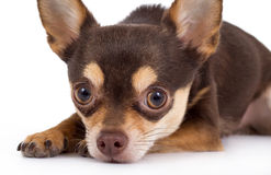 Chihuahua dog. Cute chihuahua dog portrait on white royalty free stock photography