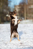 Chihuahua dog dancing on snow Stock Image