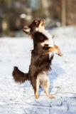 Chihuahua dog dancing on snow Stock Photos