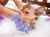 dog with Demodicosis take a shower, allergy dog skin royalty free stock image