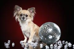 Chihuahua dog with disco ball stock photo