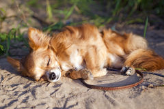 Chihuahua dog dozing at the beach Stock Image