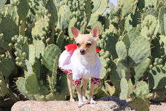 Chihuahua Dog in a Dress Outdoor. Cute dog, chihuahua, in a dress standing in front of a desert background Royalty Free Stock Photos