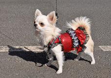 Chihuahua dog in a dress. On the street stock photo