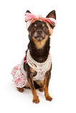 Chihuahua dog dressed in pink with pretty bow Royalty Free Stock Photography