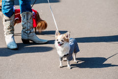 Chihuahua dog dressed in prisoner costume Stock Photos