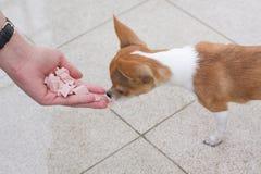 Chihuahua dog eating Royalty Free Stock Image