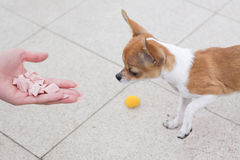 Chihuahua dog eating Stock Images
