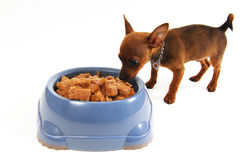 Chihuahua dog eating food from a bowl Royalty Free Stock Image