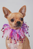 Chihuahua dog with fancy collar. Portrait of a Chihuahua, smooth coat, with fancy collar.  On white background Royalty Free Stock Image