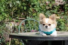 Chihuahua dog Stock Photography