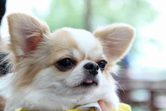 Chihuahua dog Royalty Free Stock Images