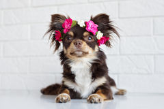 Chihuahua dog in a flower crown Royalty Free Stock Images