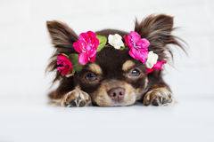 Chihuahua dog in a flower crown Stock Images