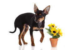 Chihuahua dog with  flowers Stock Image