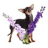 Chihuahua dog with  flowers on white background. Stock Images