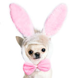 Chihuahua dog in a funny costume of an Easter hare Stock Photos