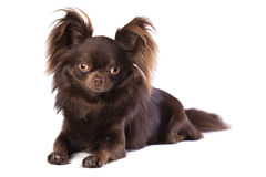 Chihuahua dog Royalty Free Stock Photos