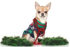 Chihuahua dog in garlands Royalty Free Stock Images