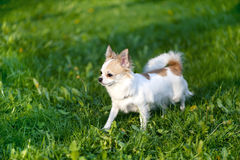 Chihuahua dog  going towards the sunset Stock Photo