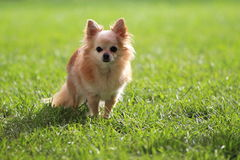 Chihuahua dog. In the grass Royalty Free Stock Photos