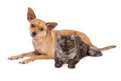 Chihuahua Dog and Gray Cat. A cute Chihuahua mixed breed dog and little kitten laying together Stock Photos