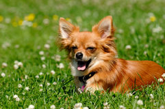 Chihuahua dog on green grass Stock Image