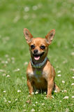Chihuahua dog on green grass Stock Photos