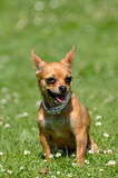 Chihuahua dog on green grass Stock Photography