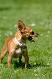 Chihuahua dog on green grass Royalty Free Stock Photos
