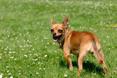 Chihuahua dog on green grass Royalty Free Stock Images