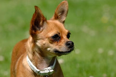Chihuahua dog on green grass Stock Images