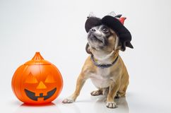 Halloween pumpkin dog royalty free stock photography