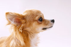 Chihuahua dog head in profile close-up Stock Image