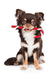 Chihuahua dog holding a candy cane Royalty Free Stock Photos