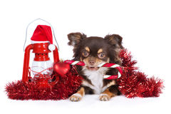 Chihuahua dog holding a candy cane Royalty Free Stock Photo